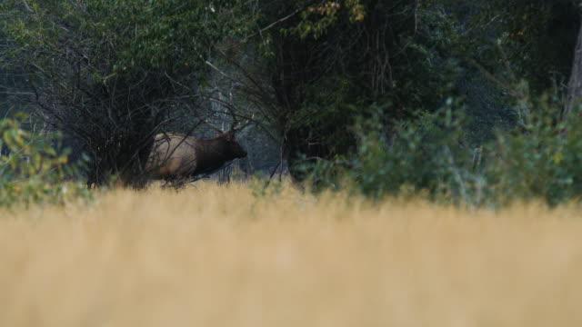Einen großen Stier Elch geht durch die Bäume, hallten, wie er seine Weibchen beobachtet.