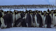 A large colony of Emperor penguins congregates on a snowy plain in Antarctica. Available in HD.
