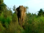 MS Large elephant charges camera, walks off at last minute