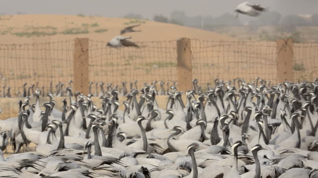 A large flock of Demoiselle Crane (Anthropoides Virgo) gathering on the ground by a high fence in a small village Khichan, Rajasthan.