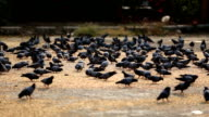 Large flock of pigeons !