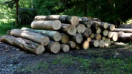 Large forestry wood pile