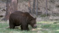 MS large grizzly (Ursus arctos) walking toward the camera in early spring