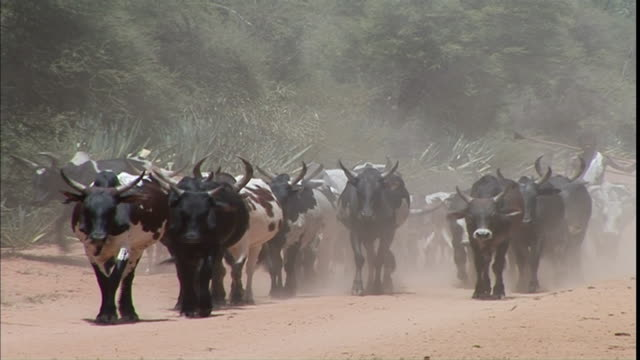 MS CU Large group of cattle walking down dusty road / Solukhumbu District, Sagarmatha Zone, Nepal
