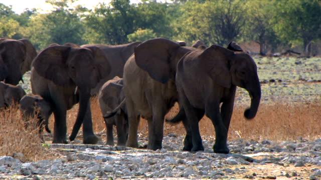 A large group of elephants walking through a veld/ Etosha National Park/ Namibia