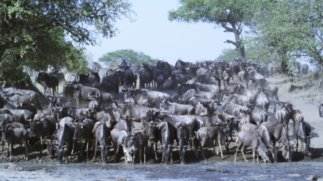 WS large group of migrating Wildebeest and zebra drinking from river facing camera