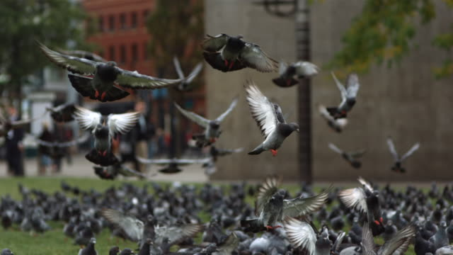 MS SLO MO R/F Large group of pigeons on city center green, taking off and eating / United Kingdom