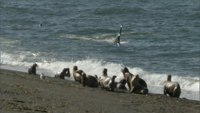 WS PAN Large group of seals on water's edge, orca swimming by shoreline in ocean / Puerto Madryn, Chubut, Argentina