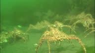Large group of spiky crabs move across seabed, Shiretoko, Hokkaido, Japan, Diving Shot