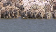 MS Large group of zebras drinking water / Limpopo, South Africa