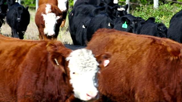 Large herd of cattle walking in line