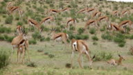 Large herd of Springbok grazing and relaxing, Kgalagadi Transfrontier Park, South Africa