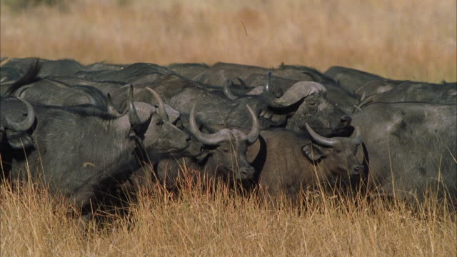 MS PAN Large herd of water buffalo through tall grass / Unspecified