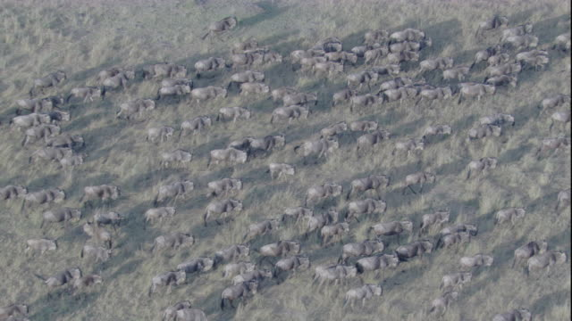 A large herd of wildebeest migrates across the grasslands of Masai Mara, Kenya. Available in HD.