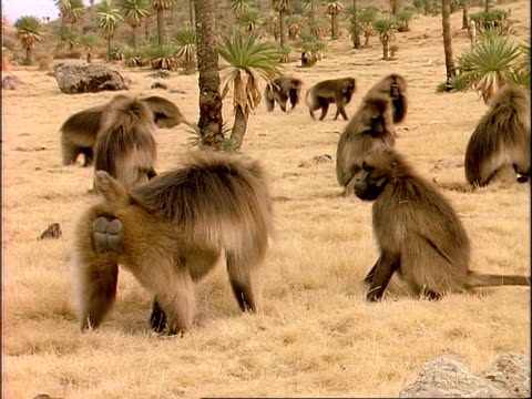 MS Large male baboon harassing smaller one, rest of troop foraging in background, Ethiopia, Africa