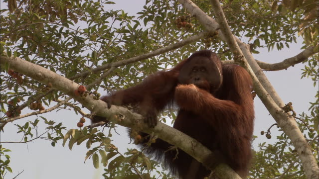 Large Orangutan eating fruit from a tree