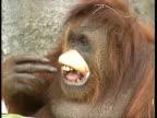 MCU large orangutan pulls silly face and sticks tongue out
