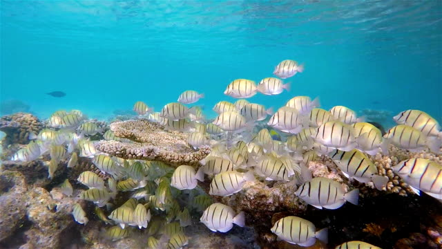 Large School of Manini (Convict) Surgeonfish on coral reef