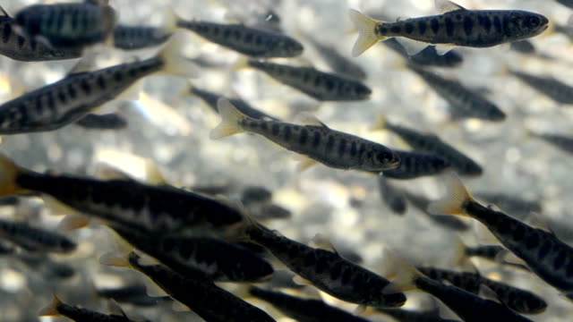 Large School of Salmon Fry 2