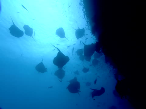 A large school of stingrays and other fish congregate near a coral shelf.