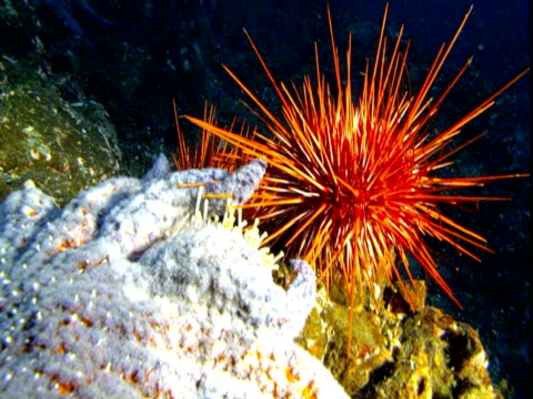 A large sunflower sea star moves past a red sea urchin on the ocean floor.