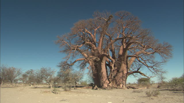 MS, Large tree in desert, Kalahari Desert, Botswana, Africa