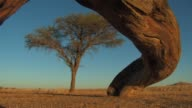 A large tree trunk frames an African Acacia tree in the Namib Desert of Namibia. Available in HD.