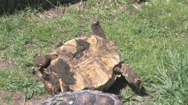 Large turtle 19 - HD 30F