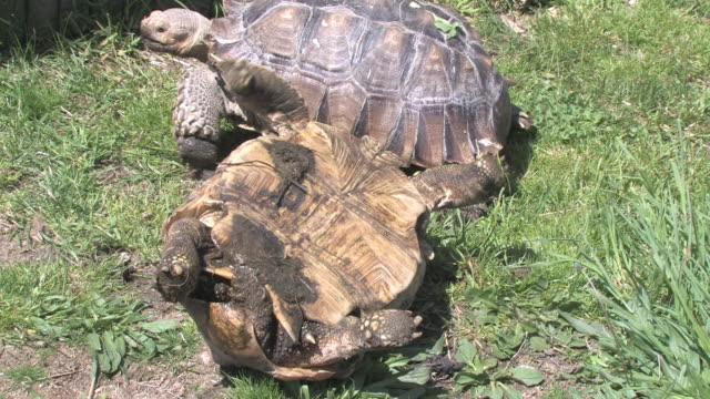 Large turtle 20 - HD 30F