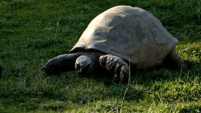 Large Turtle Chewing On Grass