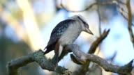 Gewone kookaburra
