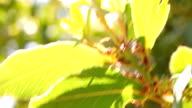 Laurus nobilis Blumen im sonnigen Tag