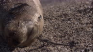 Lava lizards eat flies from the face of a sleeping Galapagos fur seal. Available in HD.