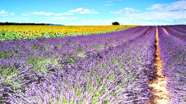 Lavander and sunflowers