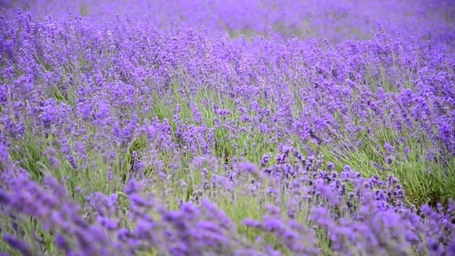 Lavender Against the wind.