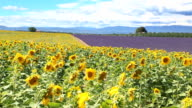 Lavender and Sunflowers  in Plateau de Valensole