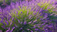 Lavender bush dancing in the wind