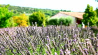 Lavender cultivated field in Provence