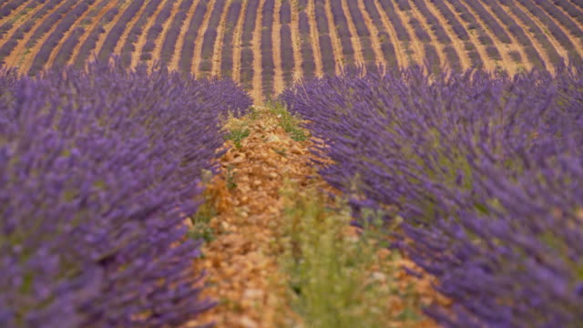DS Lavender field in Provence