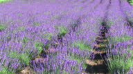 HD, NTSC: Lavender field (video)