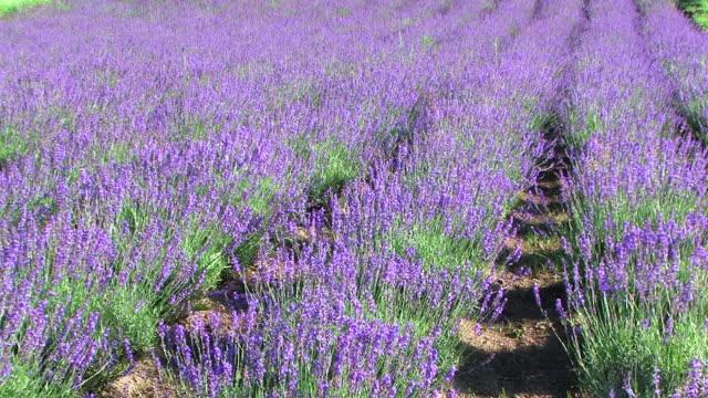 HD, NTSC: Lavender field (video)