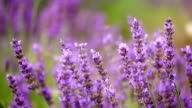 Lavender Field with Honeybees - Close up
