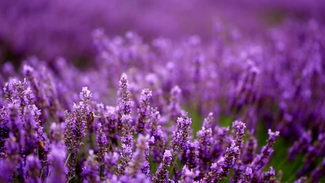 Lavender Field with Honeybees - Medium Close up
