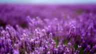 Lavender Field with Honeybees - Medium Close up