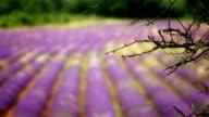 Lavender Field with Honeybees - Wide