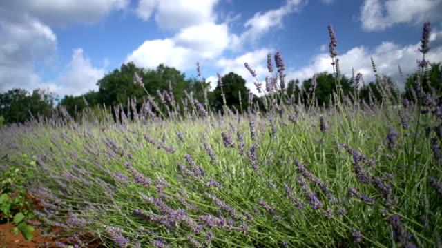 Lavender filed