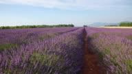 Lavender flower field in Provence, France
