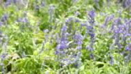 FULL HD - Lavender flower