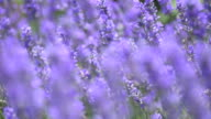 lavender flowers in a meadow in wind