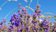 Lavender flowers in sunlight